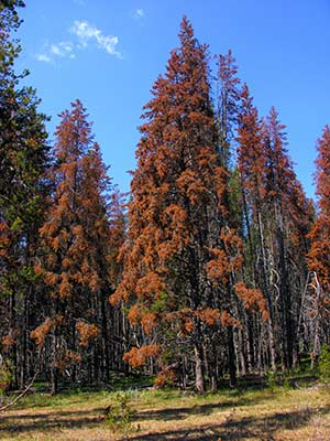 red-lodgepole-near-stanleyb.jpg