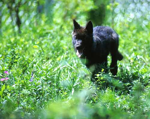 One of the Rose Creek pups in the summer of 1995