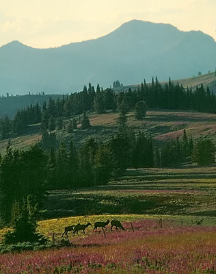 wallowa-elk1.jpg