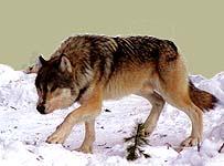 wolf28m.jpg