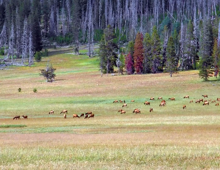 Image result for Elk in an idaho meadow