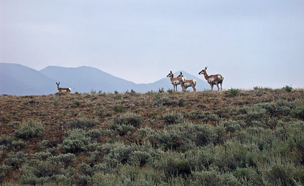 antelope-copperbsn.jpg