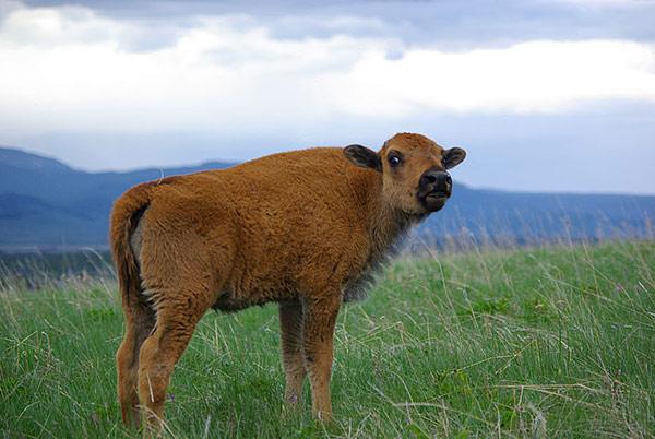 bisoncalf-horsebutte-may27.jpg