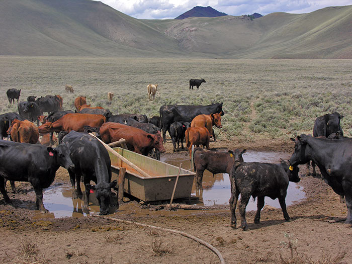 filthy-cattle-water2.jpg