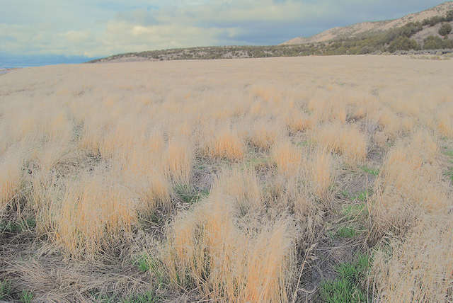 cheatgrass-fall-grow-sm.jpg