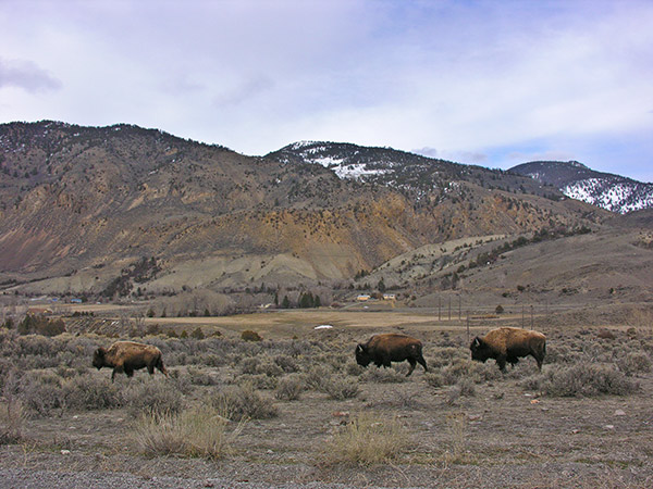 Bison move out of Yellowstone Park
