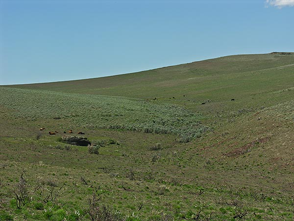 Cattle grazing the Murphy burn