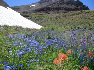 High Elevation Baby blue Forget-me-not © Katie Fite 2008