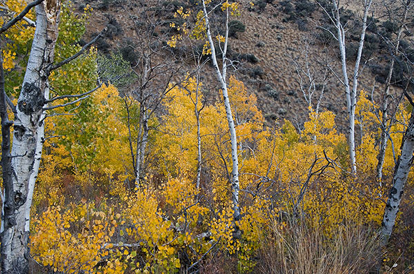 Pats Creek autumn leaves. Challis National Forest. This photo was taken Oct. 6, 2008 on the opposite side of the mountain from Warm Springs Creek. Copyright Ralph Maughan