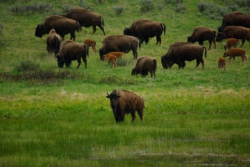 Image result for the buffalo in the field