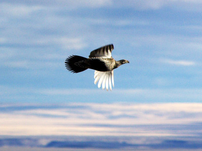 Sage grouse in flight, Bruneau uplands © Ken Cole 2008