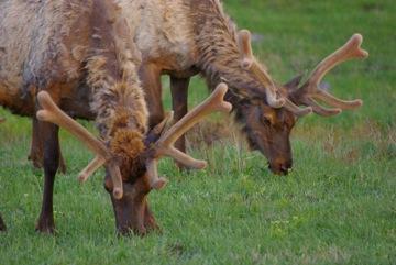 Elk in Yellowstone © Ken Cole