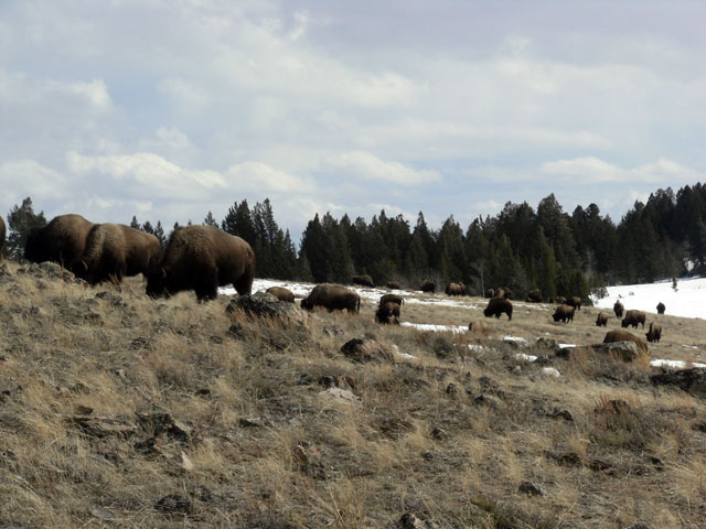 Buffalo Back on Horse Butte ©Buffalo Field Campaign