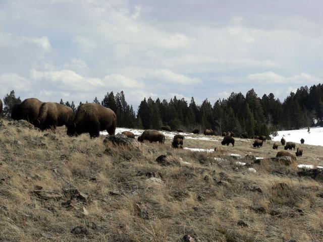 Buffalo Back on Horse Butte ©Buffalo Field Campaign