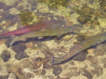 Hatchery Chinook Salmon in the South Fork Salmon River.   © Ken Cole