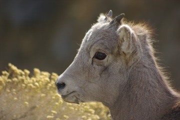 Bighorn sheep lamb © Ken Cole
