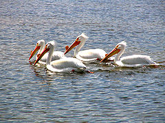 White Pelicans Fishing