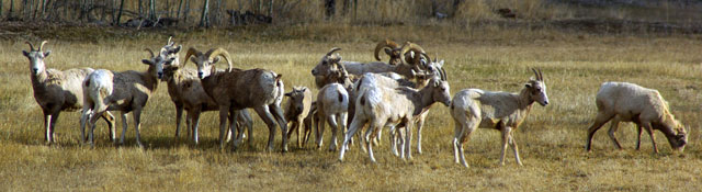 Bighorn sheep near North Fork, Idaho © Ken Cole