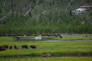 Hazing bison inside Yellowstone National Park © Ken Cole