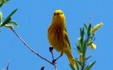 Yellow Warbler © Ken Cole