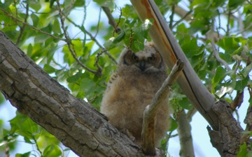 Great Horned Owl Chick © Ken Cole
