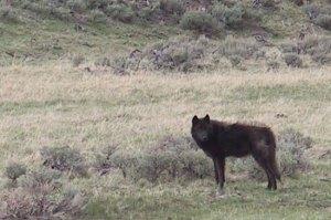 Wolf © Ken Cole