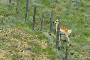 Fencing is harmful to wildlife for many reasons © Brian Ertz 2009