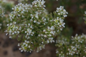 Slickspot Peppergrass (Lepidium papilliferum) © Ken Cole
