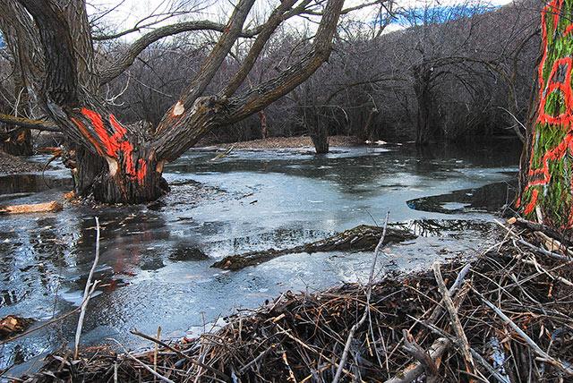 beaver-ponding_graffiti-trees