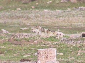 Basin Butte Wolf Spring 2006 © Ken Cole