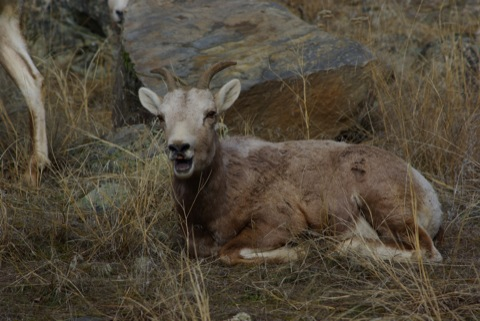 Coughing Bighorn Sheep © Ken Cole