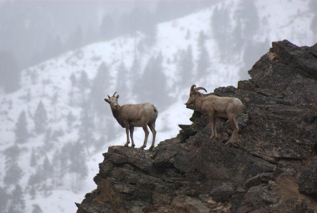 Bighorn Sheep in Salmon River Canyon © Ken Cole