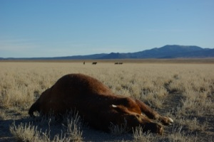 Dead cow in Nevada © Ken Cole
