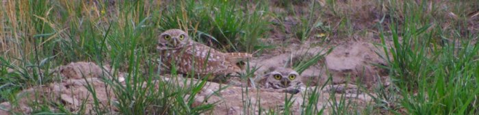 Burrowing Owls © Ken Cole