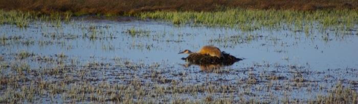 Nesting Sandhill Crane © Ken Cole