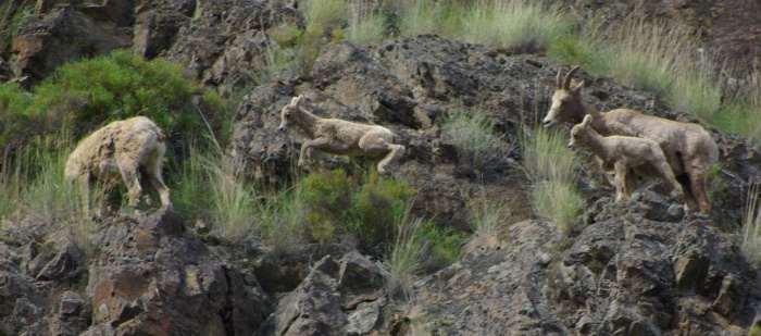 Bighorn Sheep, Hells Canyon © Ken Cole