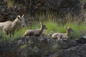 Hells Canyon Bighorn Sheep © Ken Cole