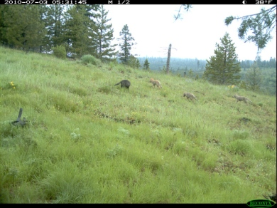 Imnaha pups - Courtesy Oregon Department of Fish and Wildlife