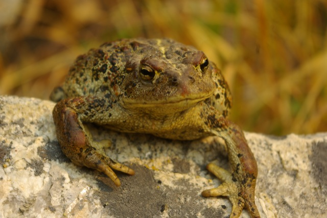 Western Toad © Ken Cole