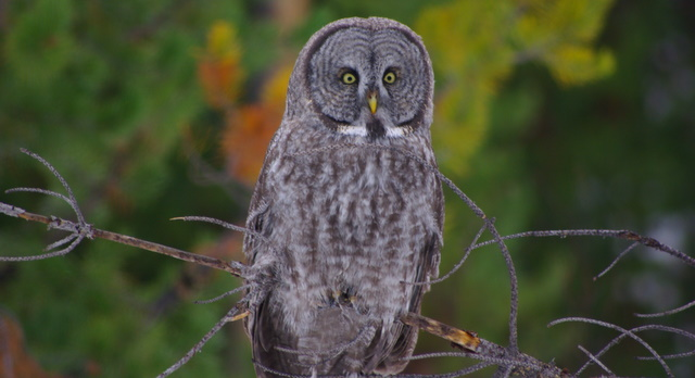 Great Gray Owl near Beaver Creek Summit (Lowman area), Idaho © Ken Cole