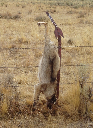"""Coyote found October 8, 2010 © <a href=""""http://westernwatersheds.org/"""">Western Watersheds Project</a>"""