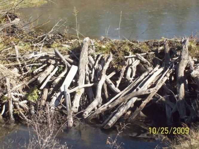 Beaver dam in Box Canyon