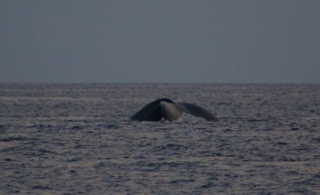 Humpback Whale © Ken Cole