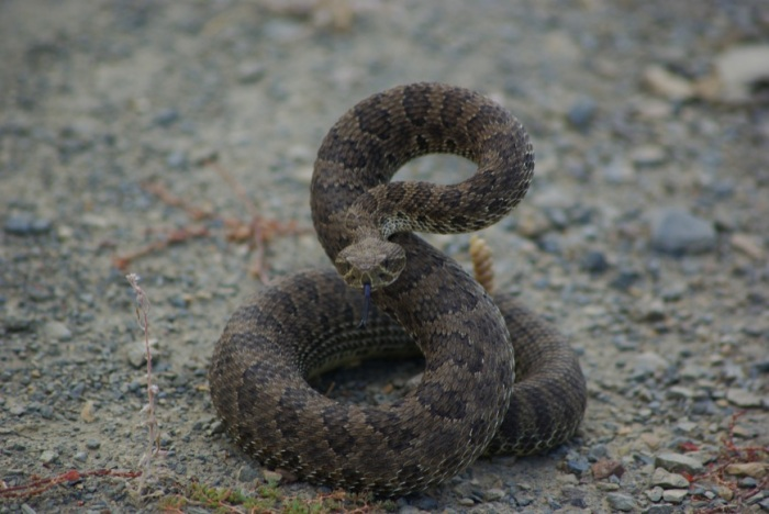 Western Rattlesnake © Ken Cole