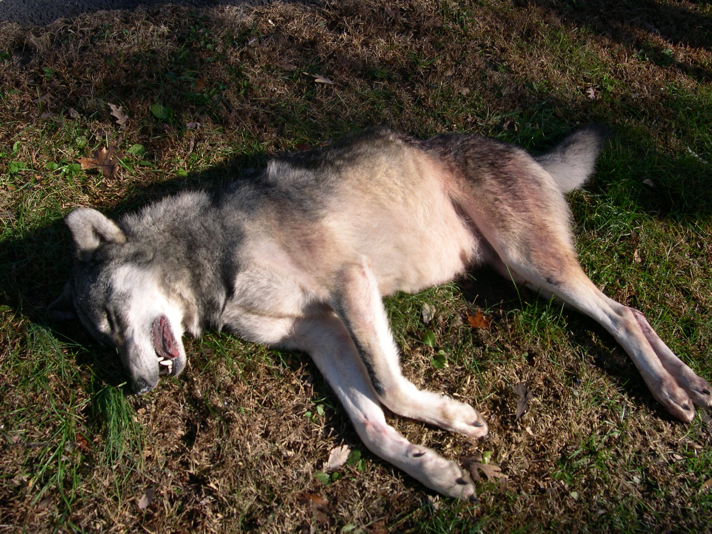 104 pound coyote shot in Missouri !! | The Wildlife News