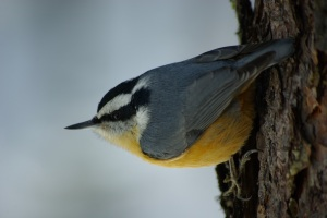 Red Breasted Nuthatch © Ken Cole