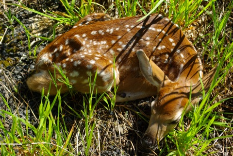 White tail deer fawn © Ken Cole