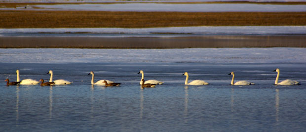 Tundra Swans and greater white-fronted geese.  Near Burns, Oregon © Ken Cole