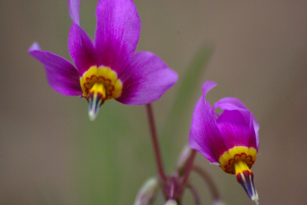 Shooting stars Dodecatheon spp.  South Fork Salmon River © Ken Cole